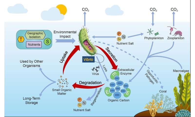 Scientists propose that vibrios have significant roles in marine organic carbon cycle