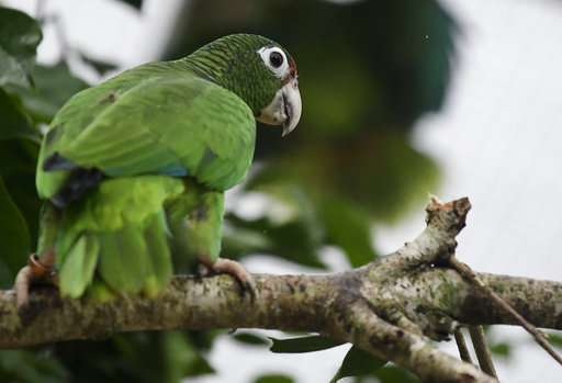Scientists work to save wild Puerto Rican parrot after Maria