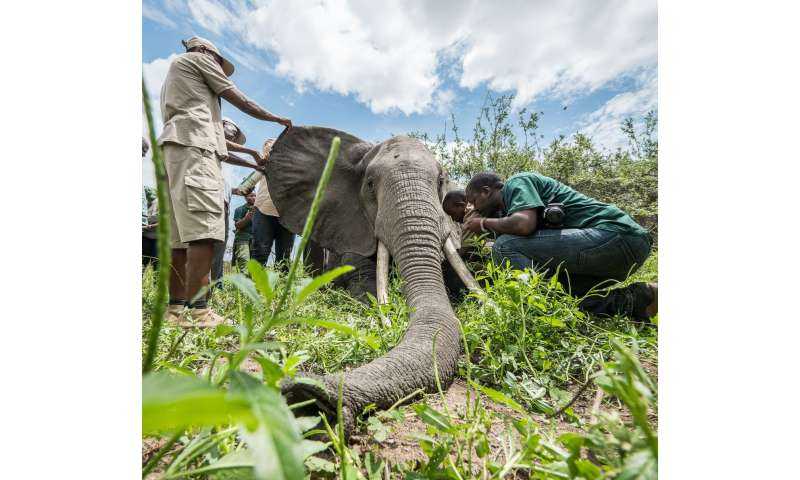 Unprecedented collaring effort aims to protect Tanzania's threatened elephants