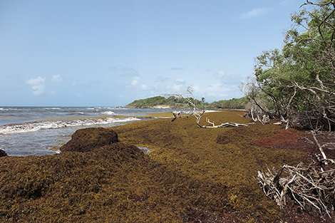 A research project in the French West Indies for repurposing Sargassum seaweed