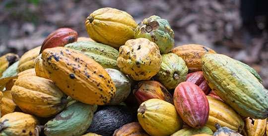 Better cocoa crops for better livelihoods