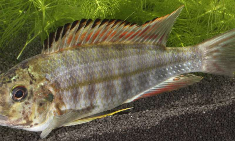 Brood parasitism in fish