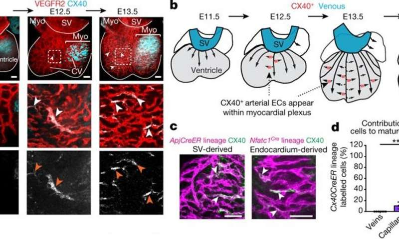 Cardiac progenitor cells undergo a cell fate switch to build coronary arteries