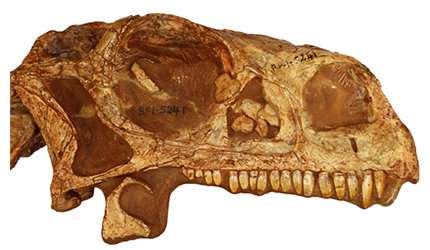 CT-scan study makes it possible to 3-D print the skull of the dinosaur species massospondylus