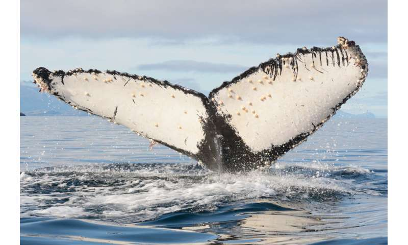 First study of Humpback whale survivors of orca attacks in the Southeastern Pacific