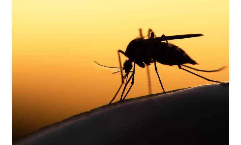 Genetically modified mosquitoes may be best weapon for curbing disease transmission