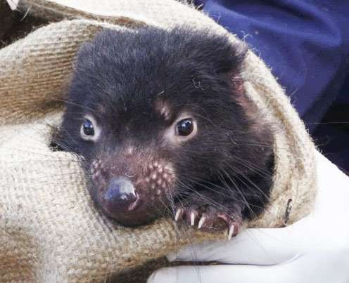 Genetic mutation drives tumor regression in Tasmanian Devils
