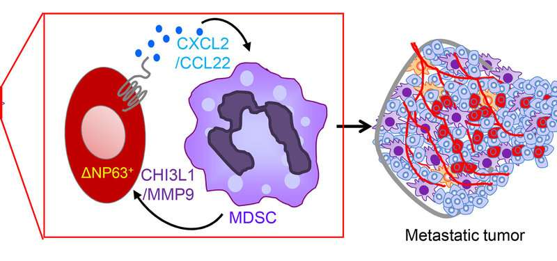 Immune cells in triple-negative breast cancer offer potential therapeutic target