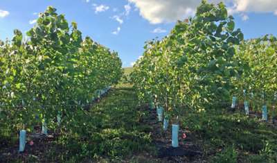 Improving poplar biomass production under stress conditions