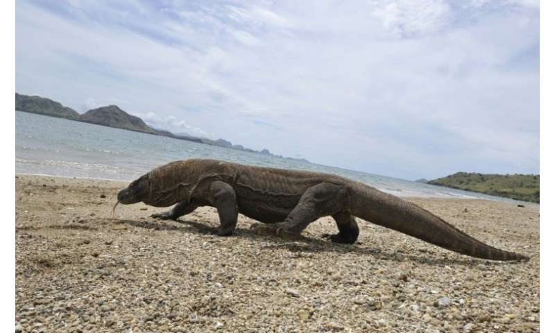 Komodo dragons can grow to around three metres in length, and weigh up to 70 kilograms