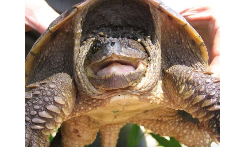 Land use and pollution shift female-to-male ratios in snapping turtles