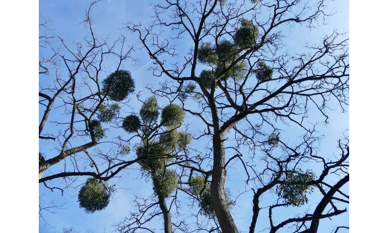 Mistletoe has lost 'most of its respiratory capacity,' two studies show