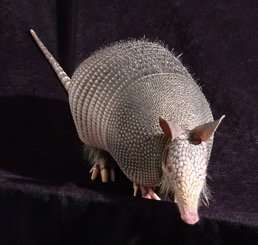 More than half of Amazonian armadillos carry leprosy