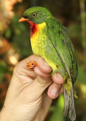 Mountain birds on 'escalator to extinction' as planet warms
