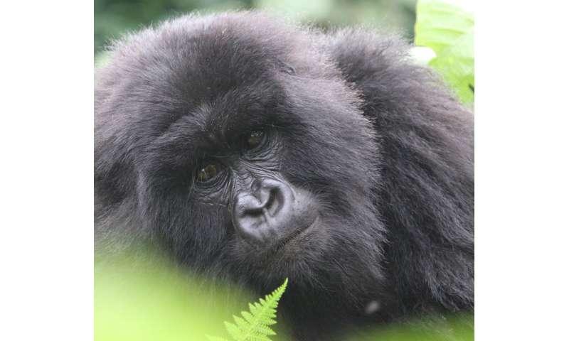 Mountain gorilla numbers climb upwards