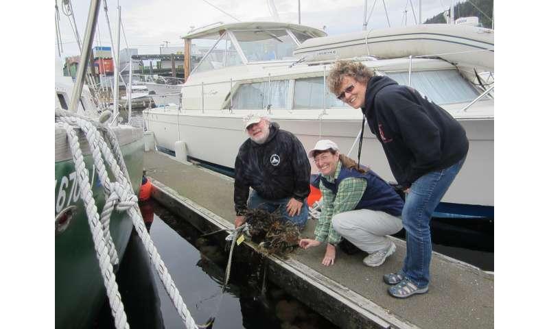 New invasive bryozoan arrives in Alaskan waters