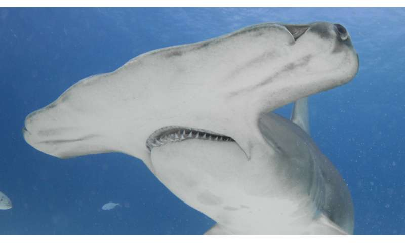 New study highlights shark protections, vulnerability to fishing