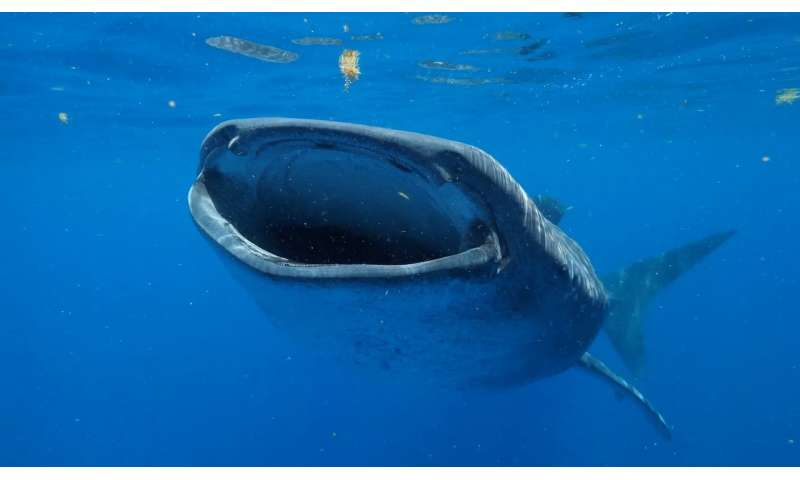 Novel approach studies whale shark ages the best way -- while they are swimming