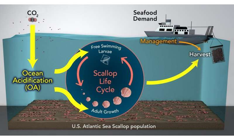 Ocean acidification may reduce sea scallop fisheries