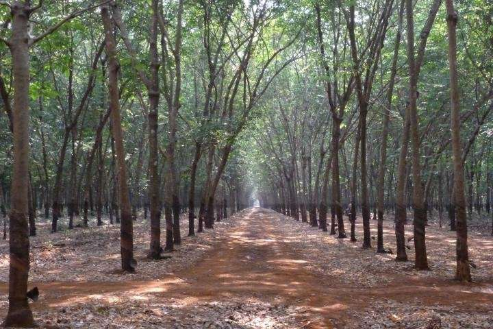 Payments to protect carbon stored in forests must increase to defend against rubber