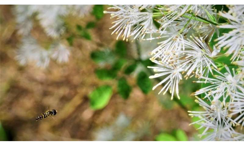 Plant biologists identify mechanism behind transition from insect to wind pollination