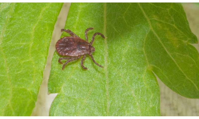 Potential range for new invasive tick covers much of eastern US