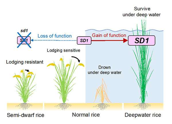 Rice plants evolve to adapt to flooding