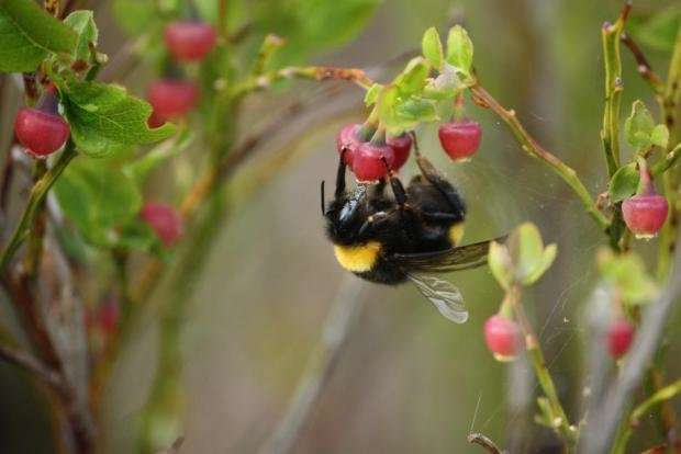 Scandinavian bumblebees survive by incubating their eggs