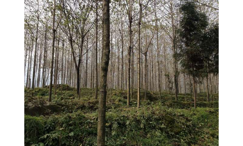 Survival and restoration of China's native forests imperiled by proliferating tree plantations