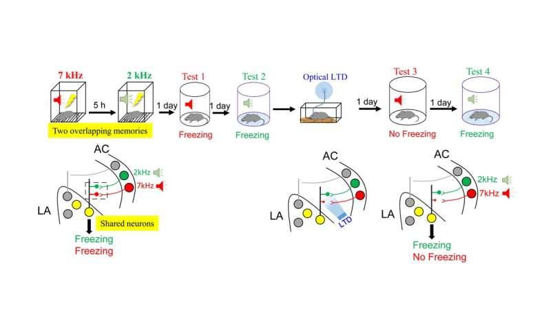 Synapse-specific plasticity governs the identity of overlapping memory traces