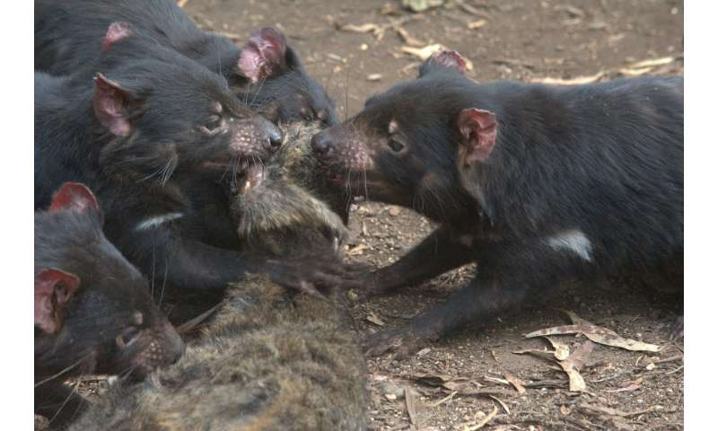 Tasmanian devils' decline has left a feast of carrion for feral cats