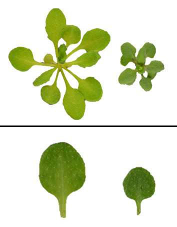 The circadian clock controls the cell cycle and tumor growth in plants