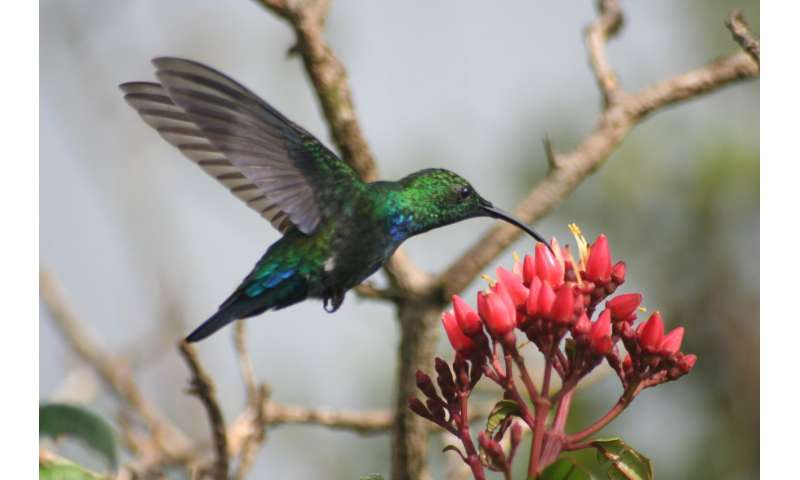 The environment determines Caribbean hummingbirds' vulnerability