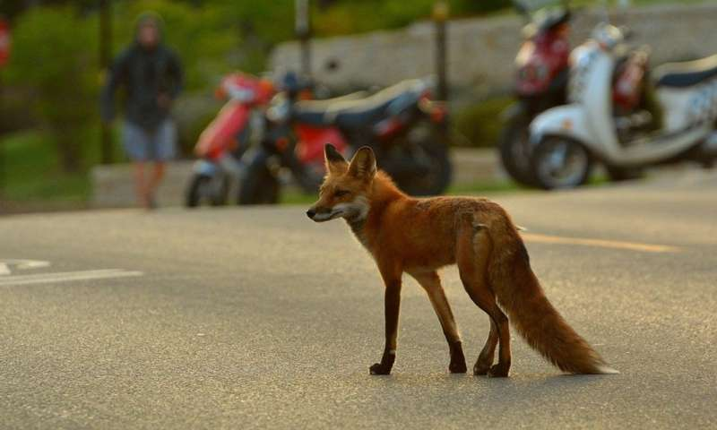 Urban foxes and coyotes learn to set aside their differences and coexist