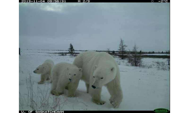 We found grizzly, black and polar bears together for the first time