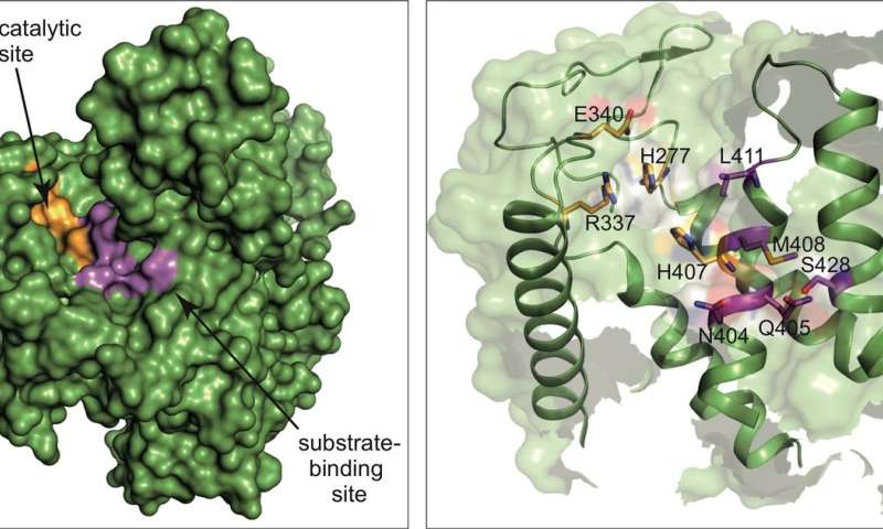 Scientists reveal atomic details for one of Legionella's enzymatic weapons and develop first inhibitor