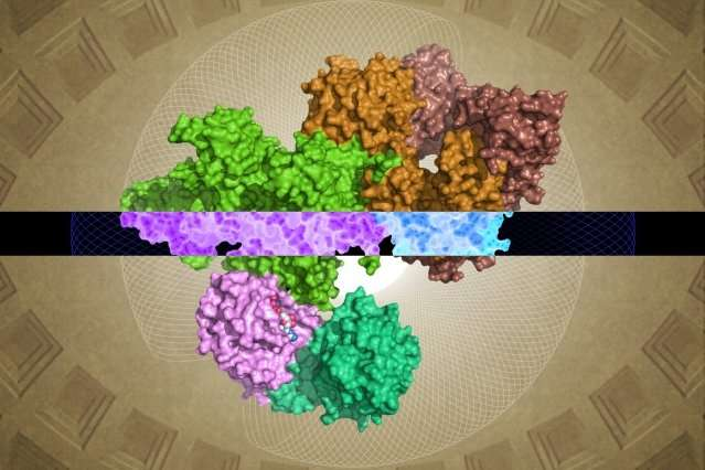 Researchers identify molecular structure of the GATOR1 protein complex that regulates cellular growth signals