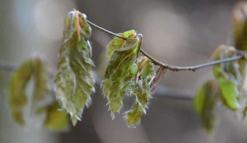 Global warming increases risk of frost damage to trees