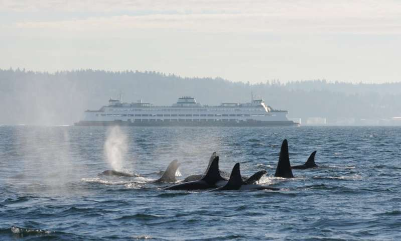 Researchers use 'environmental DNA' to identify killer whales in Puget Sound