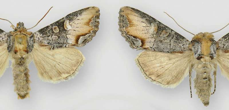Newly discovered moth named Icarus sports a flame-shaped mark and prefers high elevations