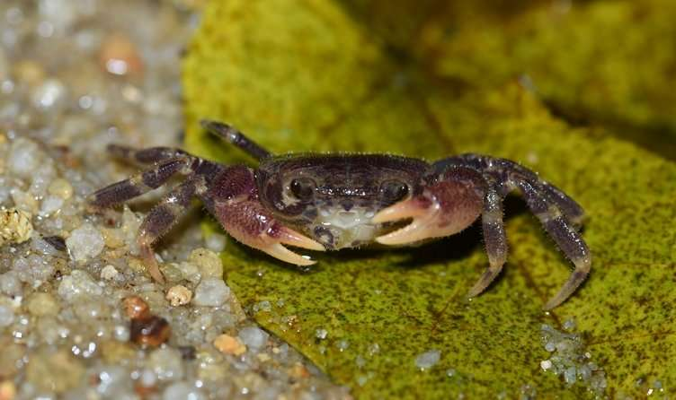 Critically endangered Singapore freshwater crab lives in