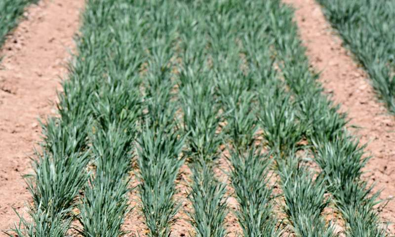 Drones help researchers monitor High Plains wheat