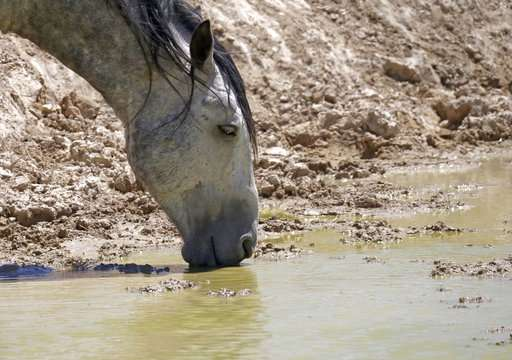 Drought spurs extreme measures to protect West's wild horses