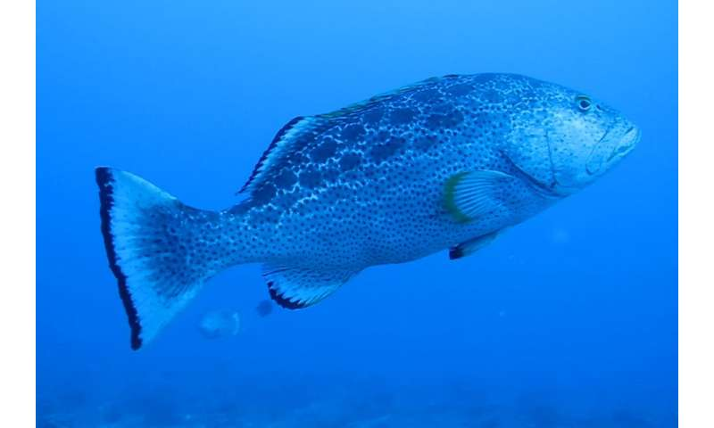 'Eavesdropping' on groupers' mating calls key to survival