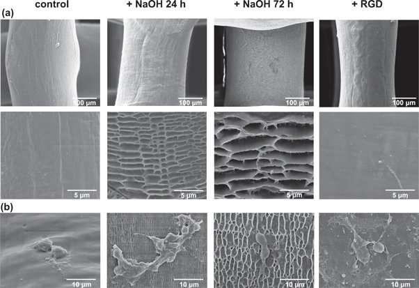 Enhanced osteogenic activity of pre-osteoblasts on surface