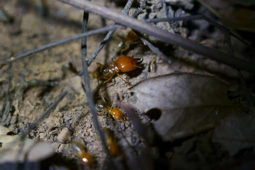 In Brazil backlands, termites built millions of dirt mounds