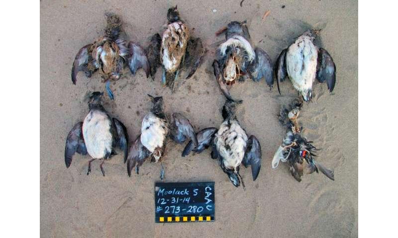 Ocean warming, 'junk-food' prey cause of massive seabird die-off, study finds