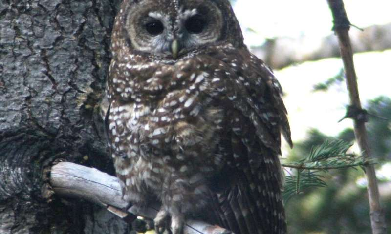 Researchers find post-fire logging harms Spotted Owls