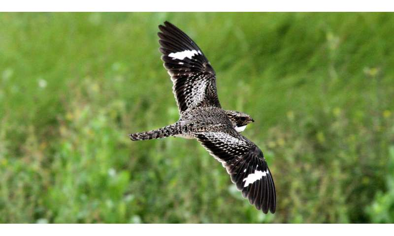 Scientists track nighthawks' migration route in search of clues to species' steep decline