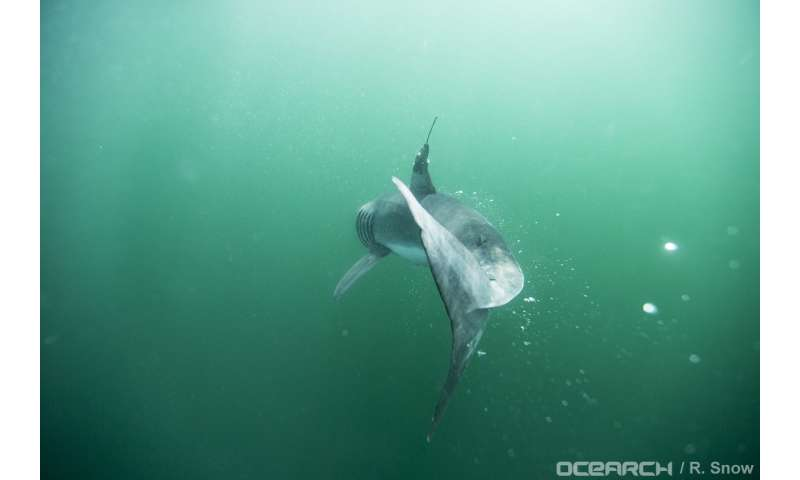 Study first to confirm where baby white sharks 'hang out' in the North Atlantic